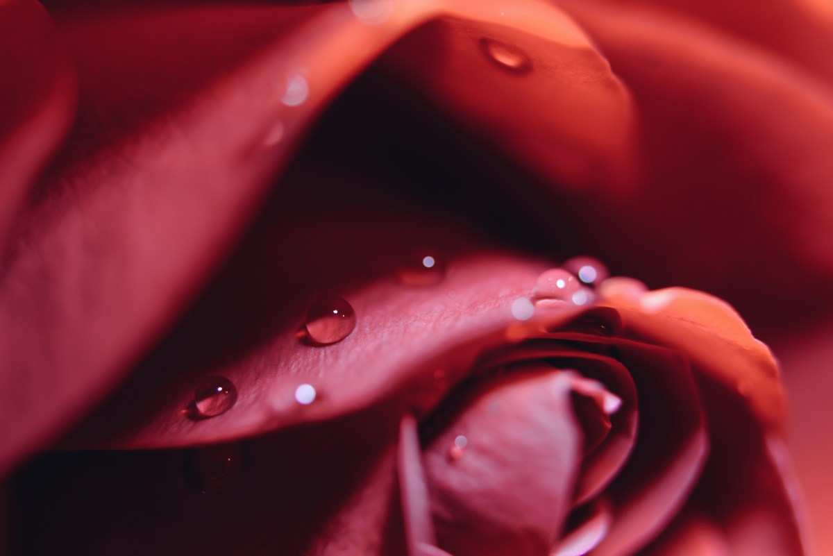Picture of a red rose, showing closeup of petal